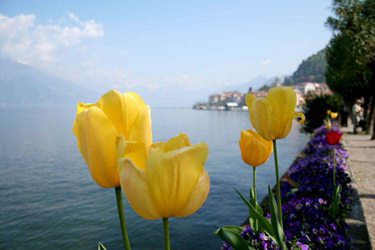Tulips on the lake front promenade in Bellagio