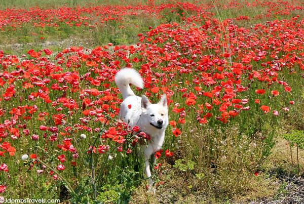 Jdombs-Travels-Poppy-Fields-1