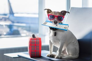 A Jack Russel terrier holds a flight ticket in his mouth and is wearing sunglasses at the airport