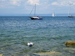 Emma swims back to shore with her blue ball in her mouth at a rocky beach in Piran, Slovenia as a sailboat passes by in the distance