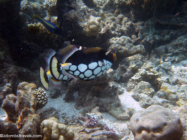 Clown Triggerfish on Baa Atoll, Maldives