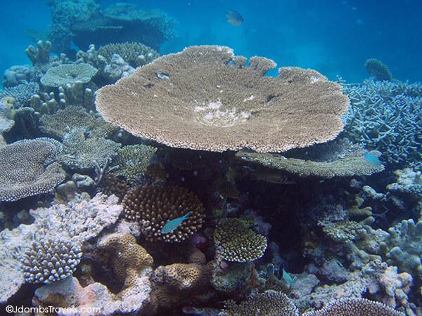 Peacock Damsels swim around huge coral fans