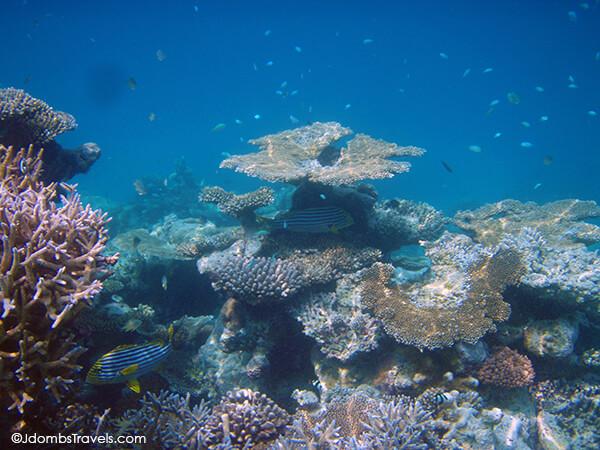 Oriental Sweetlips hide amongst the coral