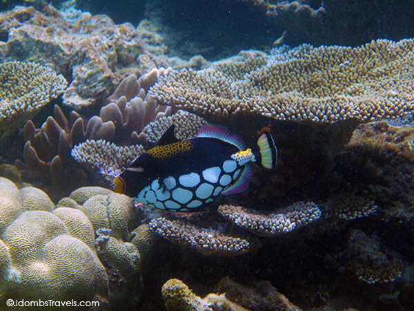 Clown Triggerfish (these were one of my favorites!)