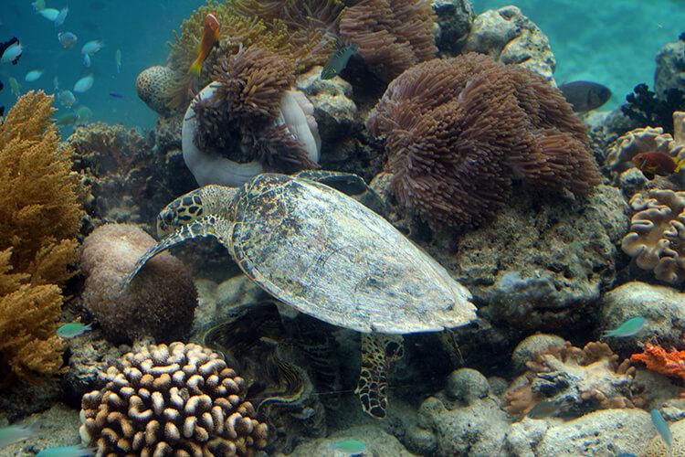 A sea turtle on the reef at Anantara Kihavah Villas Maldives