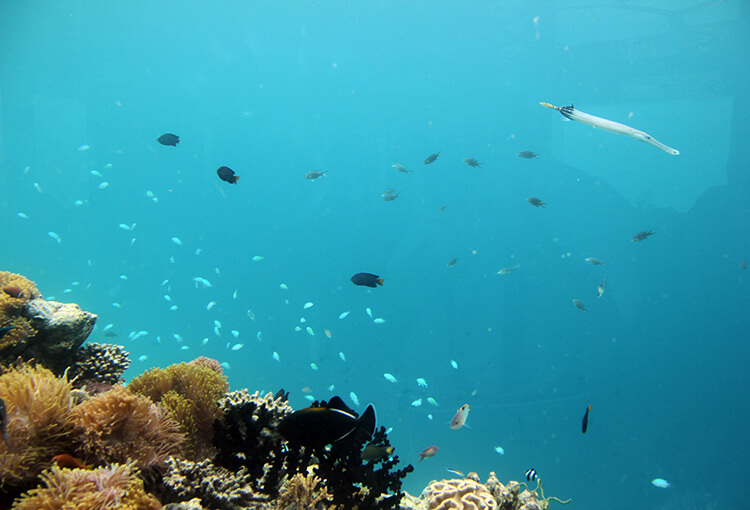 A trumpet fish at Anantara Kihavah Villas Maldives