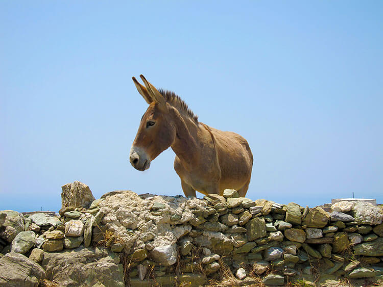 A donkey looks over a terrace wall as we pass in Ano Meria, Folegandros