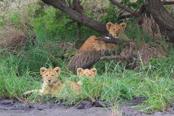 Litter of lion cubs
