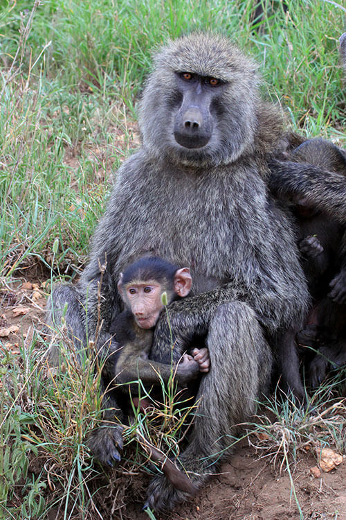 A baboon infant sits in his mother's lap in Serengeti National Park, Tanzania