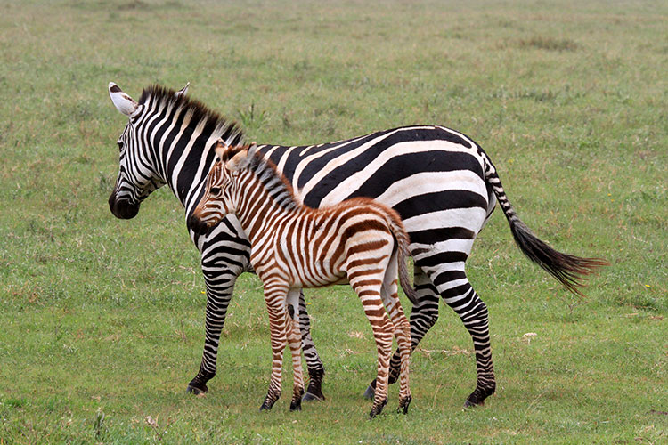 A young brown, fuzzy zebra foal stands very close to its mother in Ngorongoro Crater, Tanzania