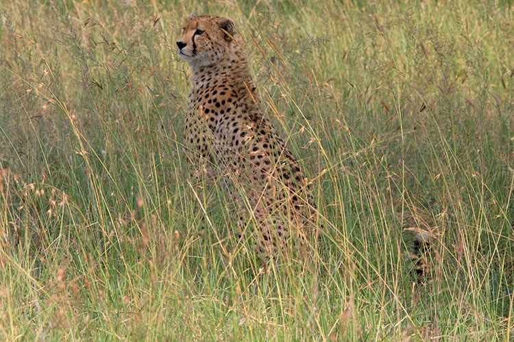 A cheetah sits in tall grass in Serengeti National Park