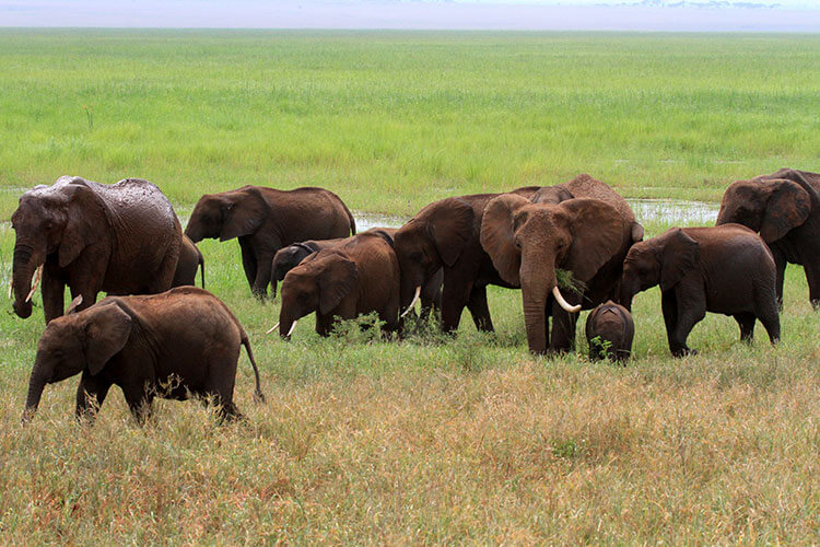 A herd of eight elephants start to move away from the watering hole after the matriarch of the herd trumpets and flaps her ears in Tarangire National Park