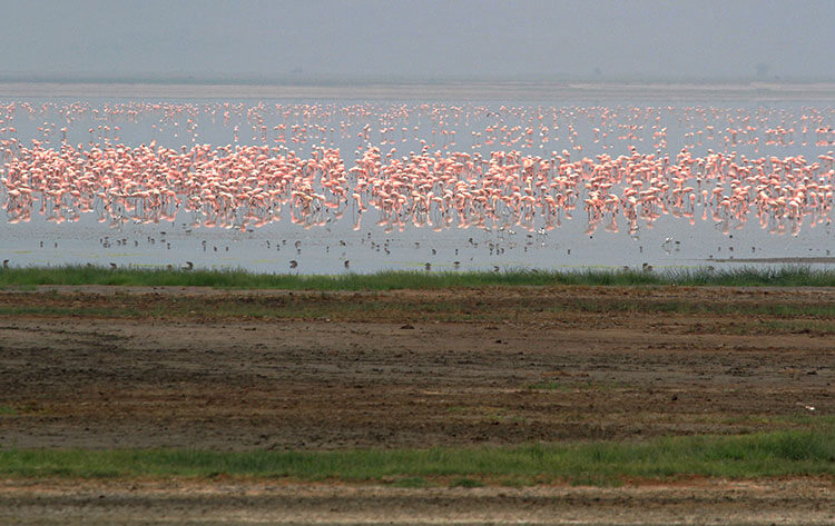 Thousands of pink flamingos dot a lake in Ngorongoro Crater