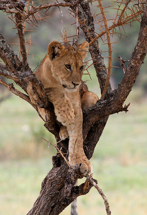 A young lion cub sits in between branches in a tree in Tarangire National Park