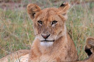 A close up a lioness' face as she laid in the grass near an elephant carcass in the Serengeti
