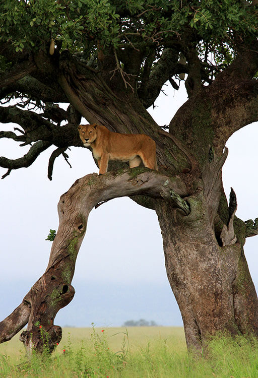 A lioness stands on the branch of a tamarind tree in the Serenti