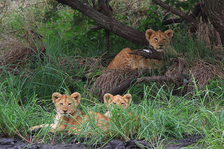 Three lion cubs hide in the grass and branches in the Serengeti
