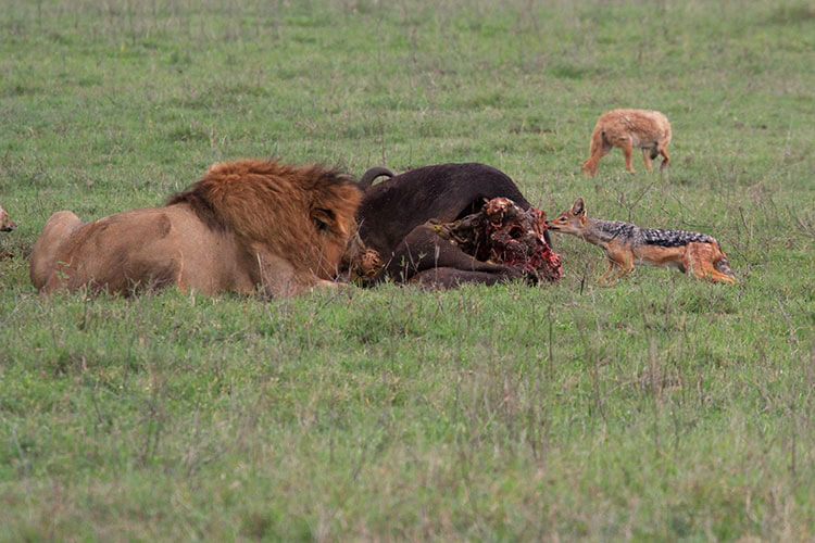 A male lion eats from the Cape Buffalo and a jackal leans in to steal a bit in Ngororngoro Crater
