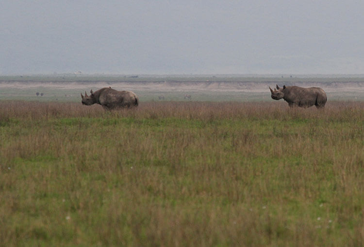 Two black rhino graze in Ngorongoro Crater