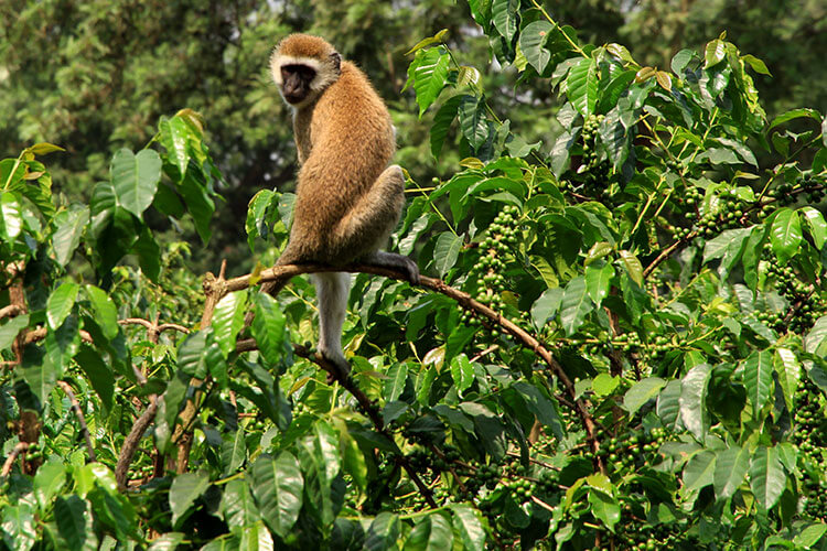 A monkey sits on the coffee plants at Burka Coffee Estate