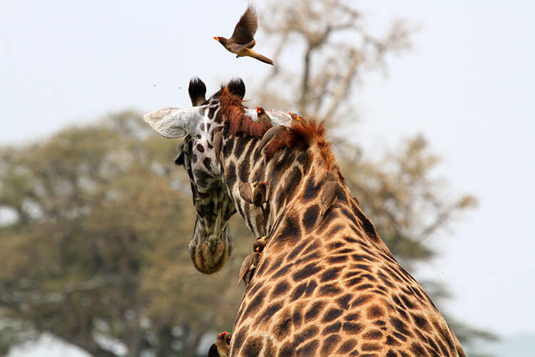 A half dozen birds pick insects of f the neck of a giraffe in Serengeti National Park