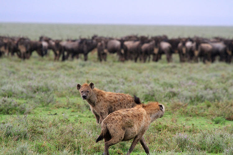 Two hyenas pace back and forth as a herd of wildebeest gather close around their babies in South Central Serengeti