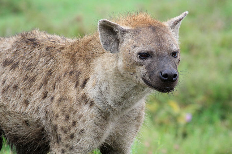 A close up of a hyena, its face covered in flies, in the Serengeti