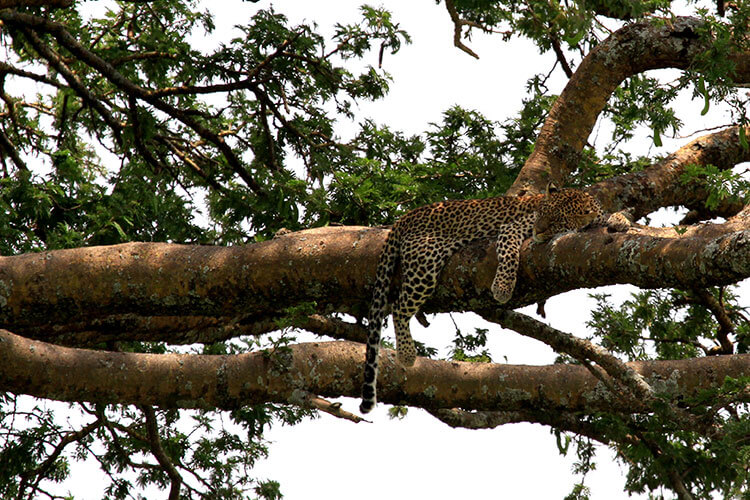 A leopard sleeps on a branch high up in a tamarind tree in Serengeti National Park