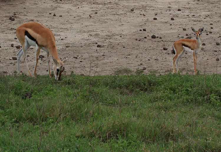 A young Thompson gazelle stands near its mother while she feeds on grass in Ngorongoro Crater, Tanzania