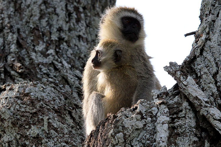 A vervet monkey infant hugs its mother in a tree in Tarangire National Park