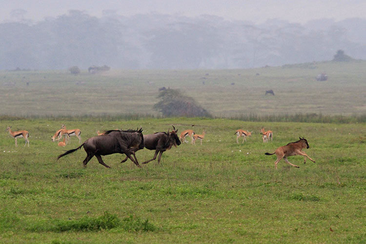 Two adult wildebeest train a wildebeest calf to run in Ngorongoro Crater, Tanzania