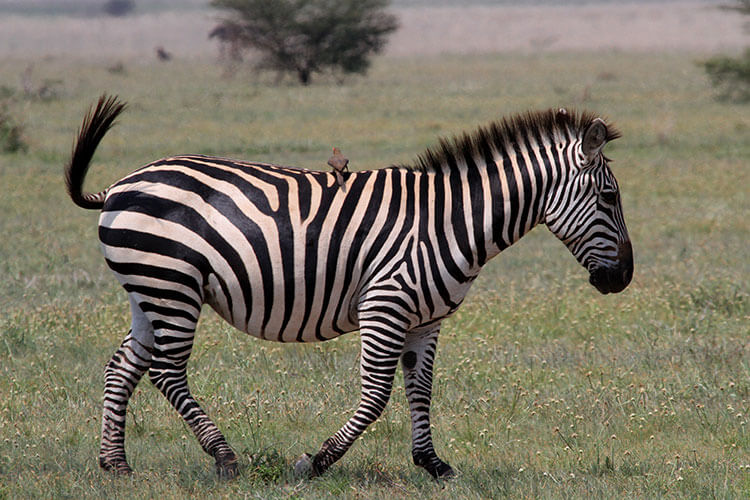 A bird sits in the middle of a zebra's back and hitches a ride in Tarangire National Park