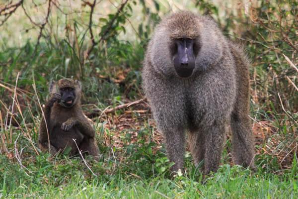 Baboons in Tarangire National Park