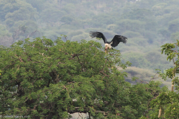 African fish eagle in Tarangire National Park