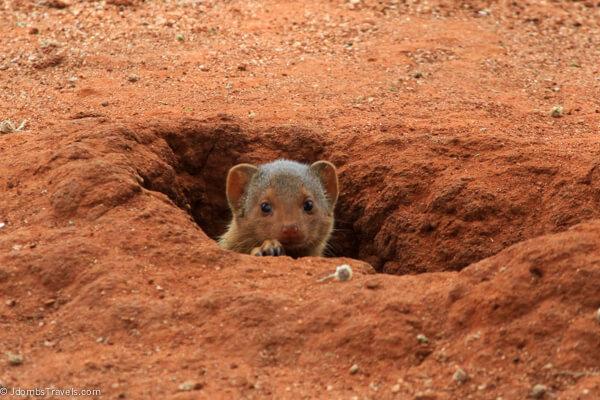 Dwarf mongoose in Tarangire National Park
