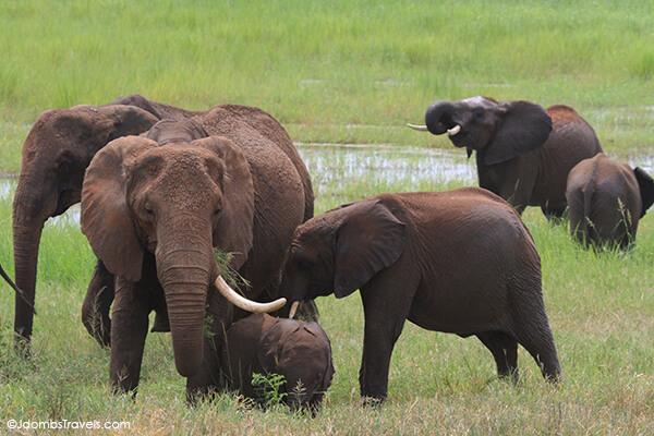 Herd of elephants in Tarangire National Park