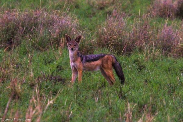 Jackall in Tarangire National Park