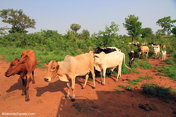 Maasai cattle