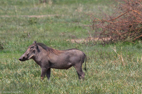 Warthog in Tarangire National Park