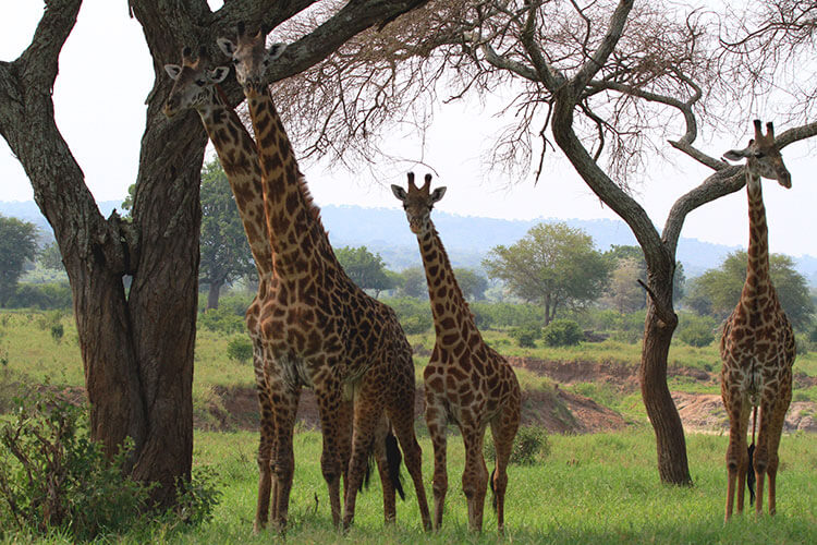 A tower of four giraffes eat from an acacia tree in Tarangire National Park, Tanzania