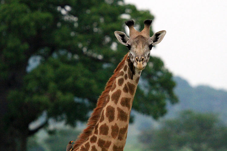 A giraffe looks at us while birds eat mites off its spotted coat