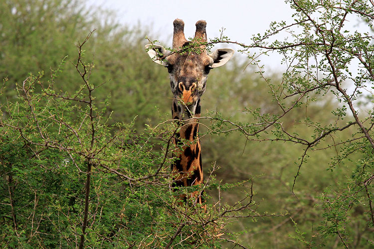 A male giraffe with the fur almost bare on his horns in Tarangire National Park, Tanzania