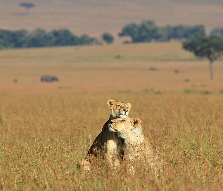 Two young lions nuzzle each other in the tall grass in the Masai Mara, Kenya