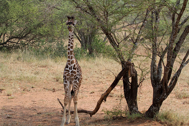 A very young giraffe calf only a few weeks old stands under the tree alone in Serengeti National Park