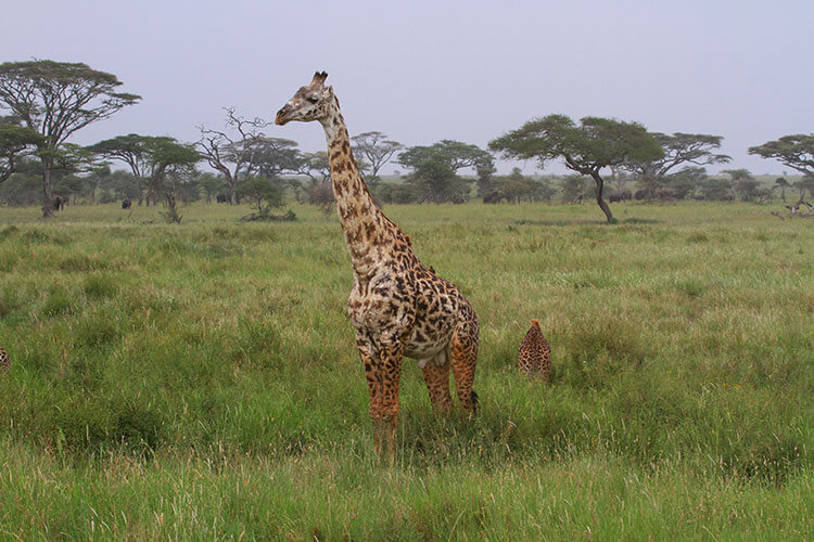 A rare giraffe with white pigmentation on the coat, except for the regularly darker colored legs in Serengeti National Park, Tanzania