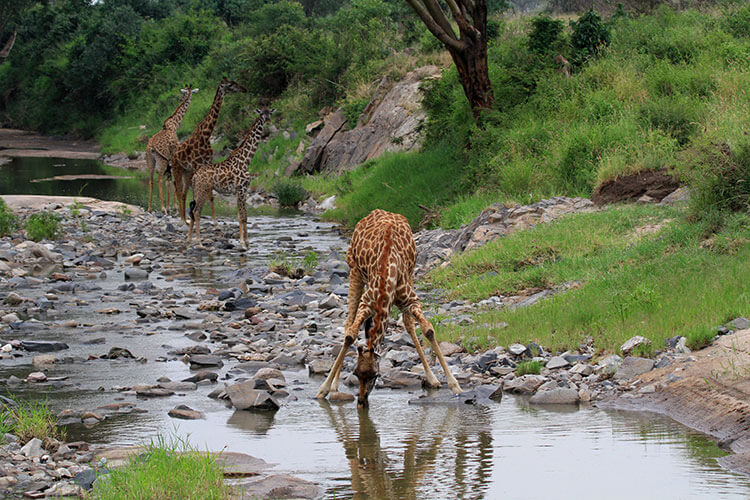 A giraffe spreads its legs wide to be able to reach down to have a drink from a stream in Serengeti National Park, Tanzania