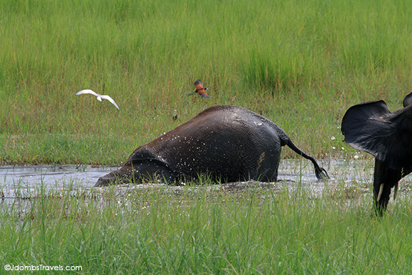 Elephants play in a watering hole