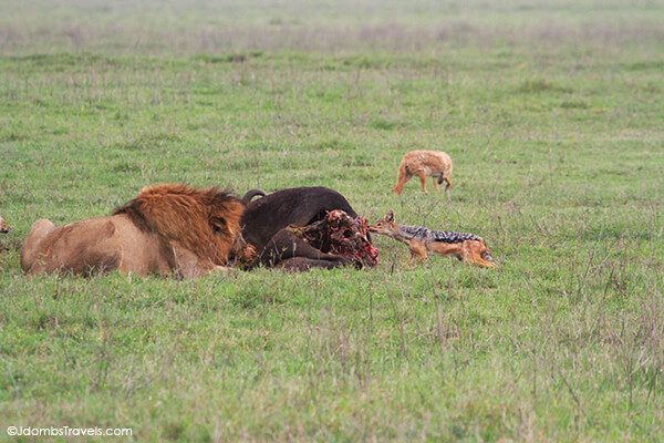 Jackal and lions in Ngorongoro Crater