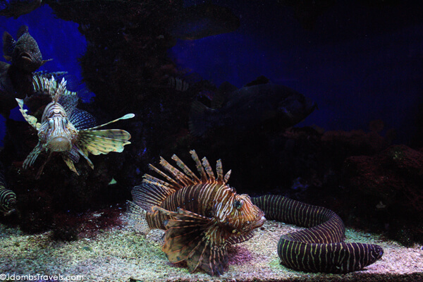 Lionfish at the Oceanographic Museum and Aquarium