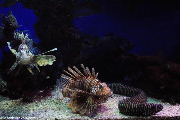 Lionfish at the Oceanographic Museum and Aquarium